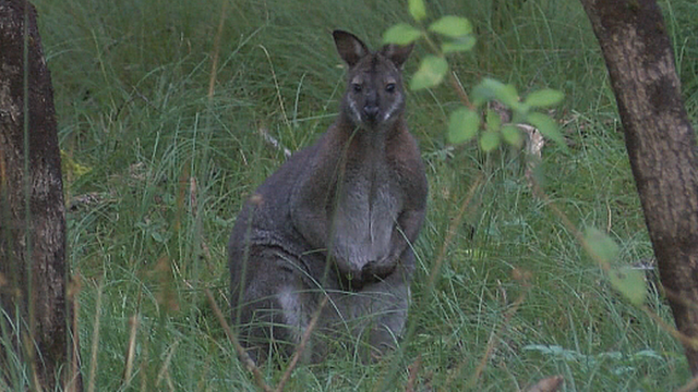Wallabies are native to Australia and Tasmania