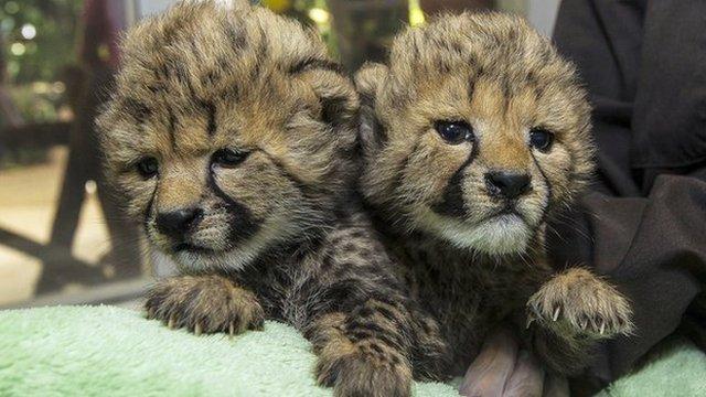 Baby cheetah cubs