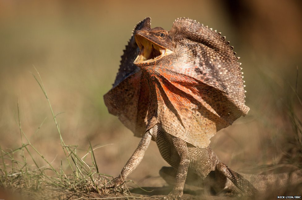 Frilled Necked Lizard