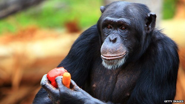 Chimpanzee in Taronga Zoo, Sydney, Australia