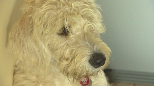 Bertie, the Golden Retriever and Poodle cross-breed dog