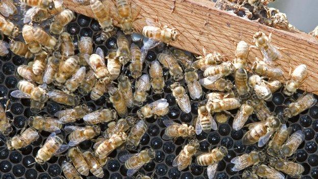 Honey bees in Texas