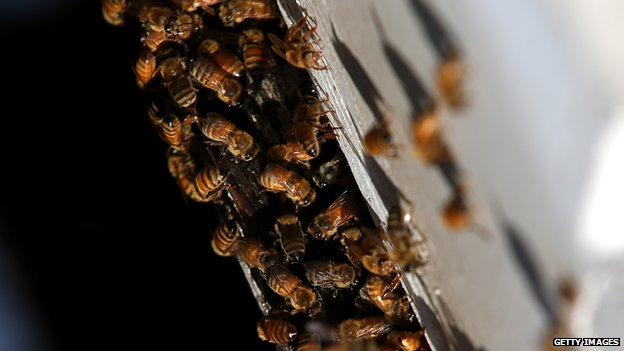 Honey bees in California