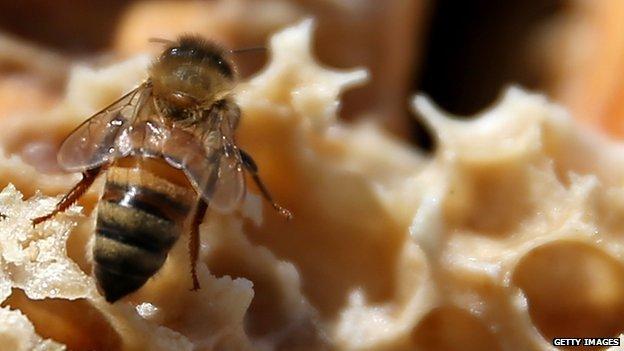 Honey bee in California
