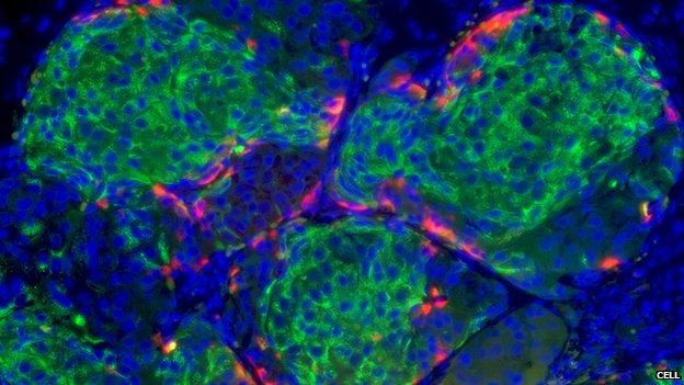 Beta cells