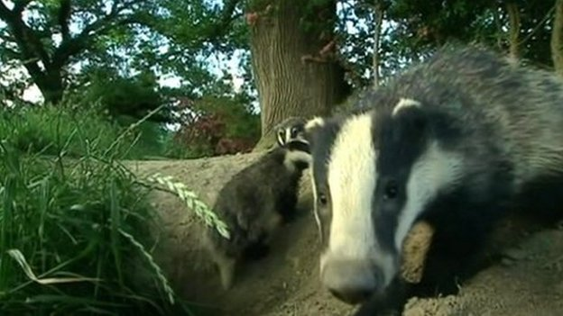 Badger culling has 'modest' effect in cutting cattle TB