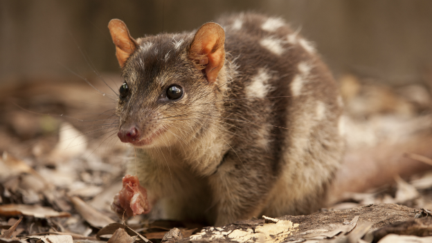 A quoll in the Kakadu National Park - 3 November 2014