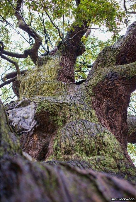 Trunk of Major Oak