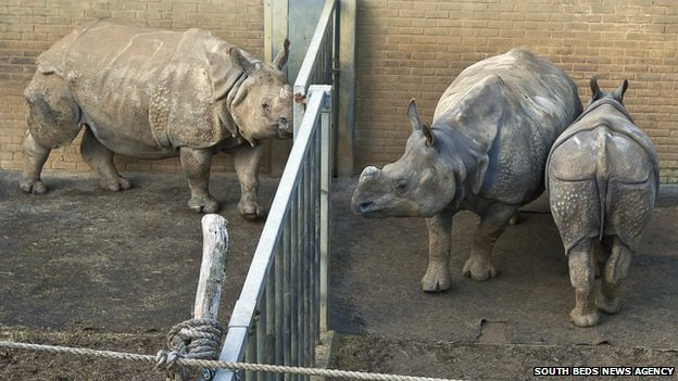 Rhinos in the enclosure at ZSL Whipsnade Zoo