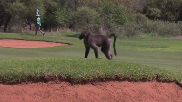 Nedbank Challenge: Luke Donald chased by baboon