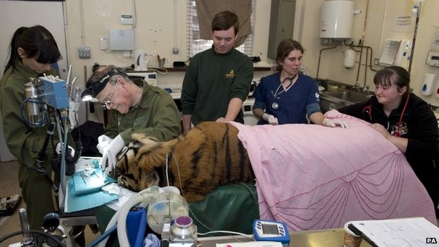 Dental surgeon Peter Kertesz carries out a filling procedure on Sumatran tiger Amir