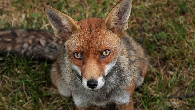 File image of a fox