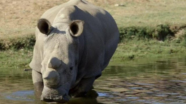 Angalifu, the male white rhino which has died aged 44