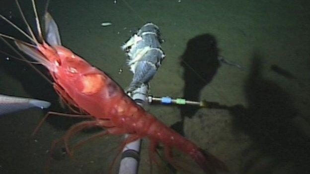 Decapod shrimp
