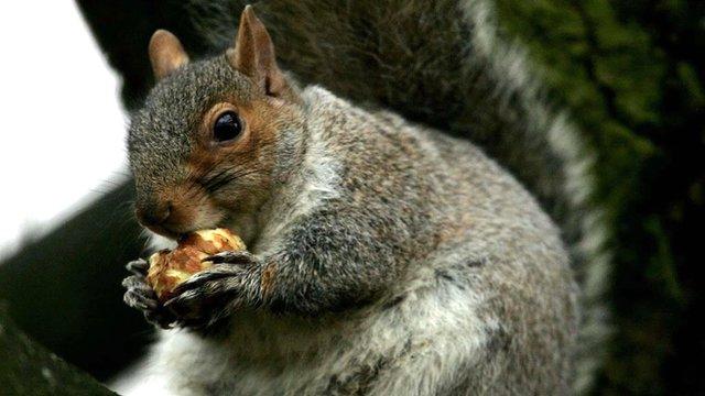 Grey squirrel chews on a nut in Regents' Park, London