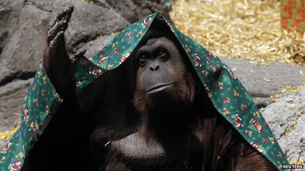 """An Orang-utan named Sandra, covered with a blanket, gestures inside its cage at Buenos Aires"""" Zoo, in this December 8, 2010 file photo"""