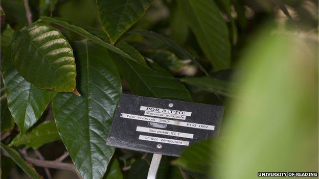 labelled cocoa plant