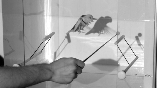 Bird in flight inside newly developed device that detects the aerodynamic force it generates (c) Lentink Lab