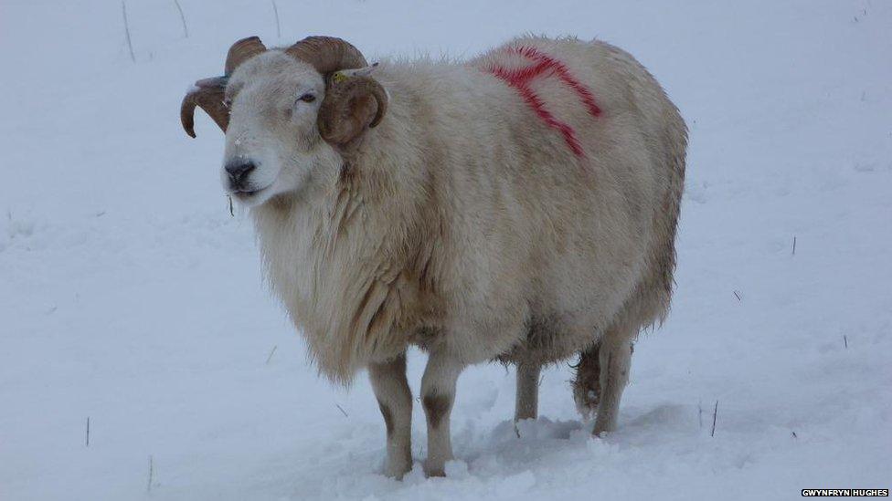 Mae cot wlân yn hanfodol yn y tywydd yma! / A woolly coat is essential in this weather!