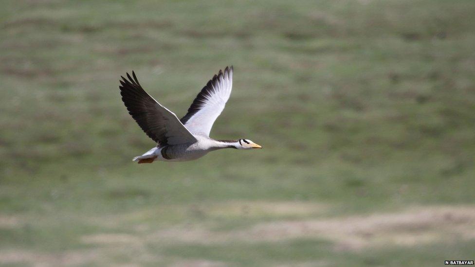 Bar-headed goose (c) Nyambayar Batbayar