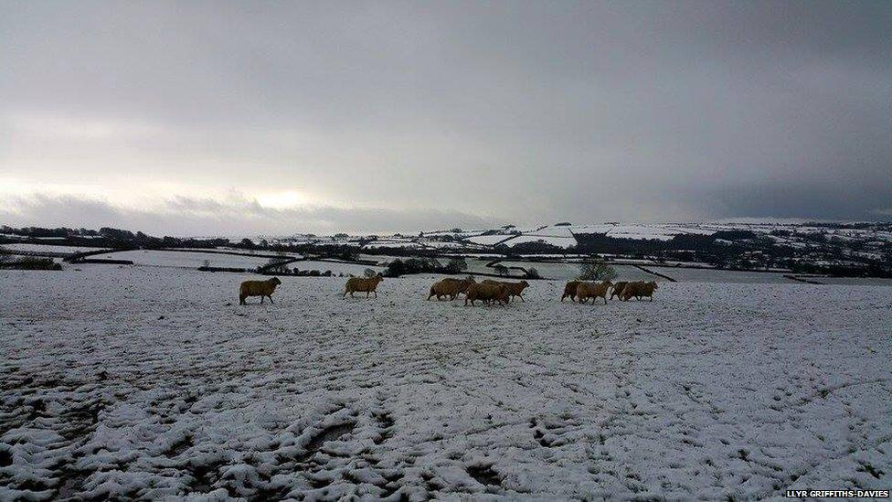 Mae'r defaid 'di cael digon / The sheep have had enough!