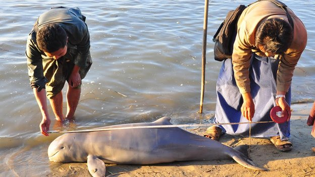 Members of the Myanmar Wildlife Conservation Society examine a dead Irrawaddy dolphin killed by electric shocks in the water