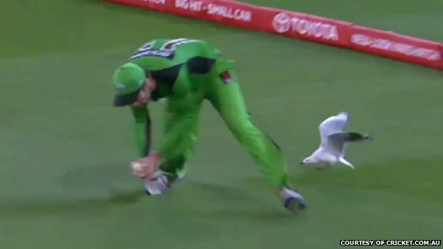Close up still of seagull diving towards cricketer's ankle