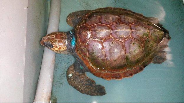 Columba the Turtle