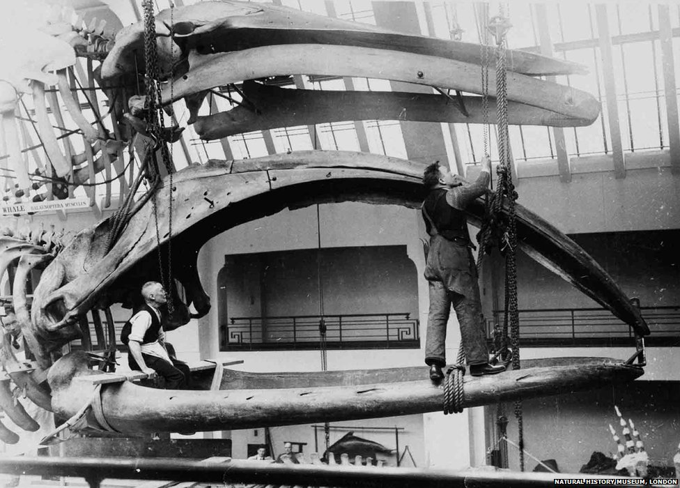 In late 1934 this bowhead whale skeleton was hoisted into position in the new Whale Hall, where it still hangs today