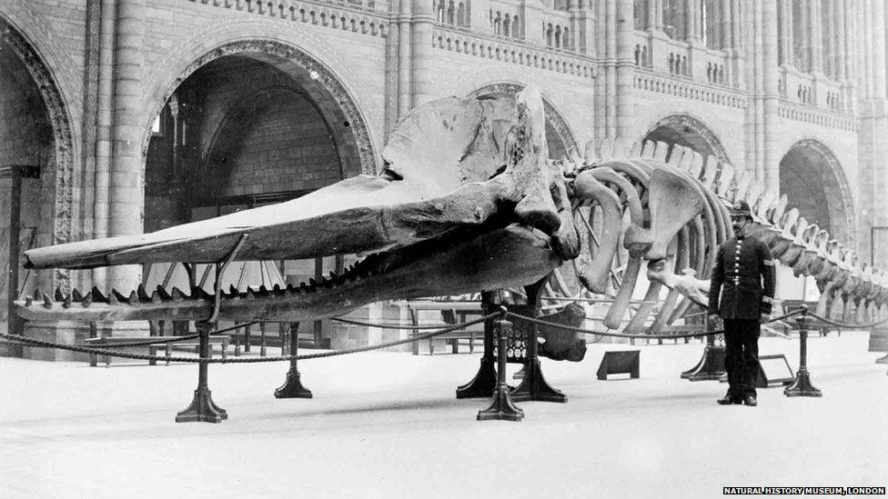 1901 sperm whale