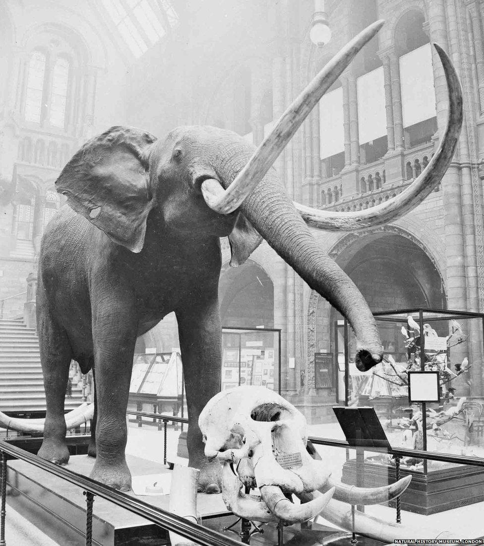 1910 elephant