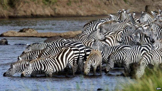Mara river entry point for zebra and wildebeest during the migration in Kenya. 7 August 2013