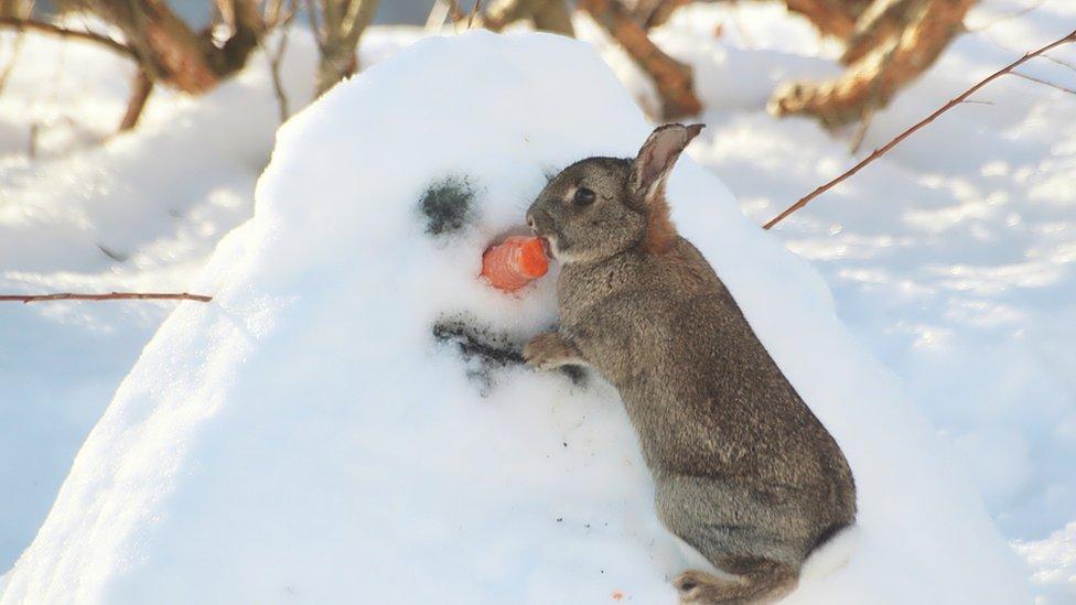 Rabbit eating snowman's nose