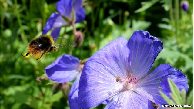 Bees nest in gardens in urban areas