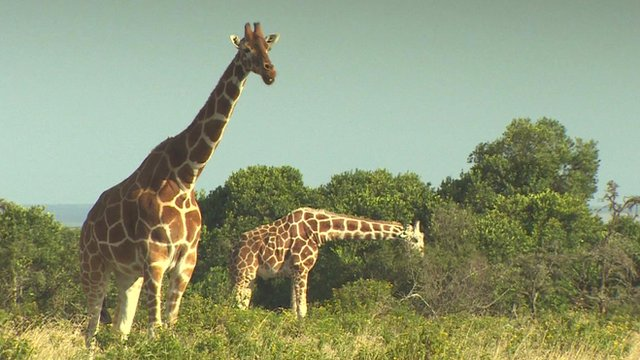 Why giraffes have strong tongues