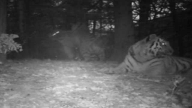 Amur tigers in the wild filmed in China