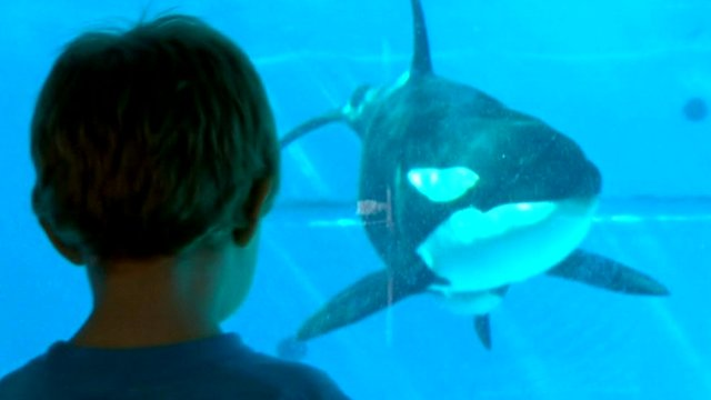 Child watching captive killer whale