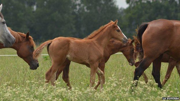Foals at La Superba