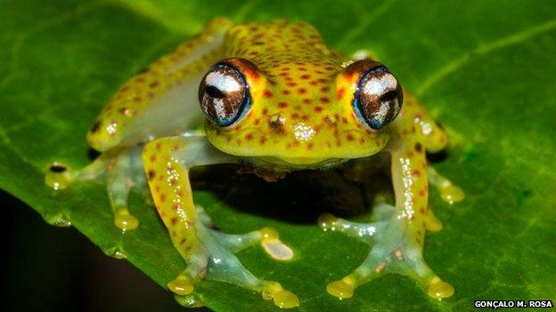 Madagascan frog