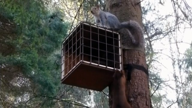Grey and red squirrels