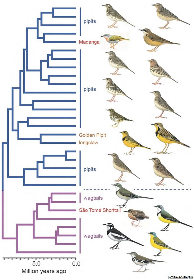 Relationship of the pipit and wagtail family (Motacillidae), including the madanga and Sao Tome shorttail (Image: Per Alstrom et al)