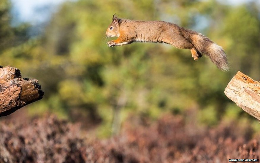 A Red squirrel leaping in the Black Isle, Scotland