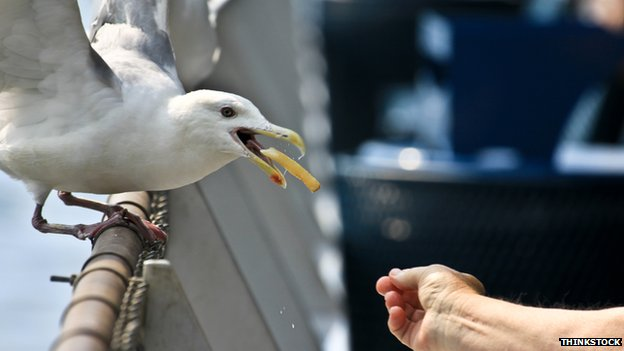 Seagull eating a chip