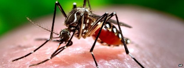 This 2006 photo made available by the Centers for Disease Control and Prevention shows a female Aedes aegypti mosquito acquiring a blood meal from a human host at the Centers for Disease Control in Atlanta