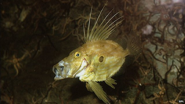 John Dory will become more common in British waters