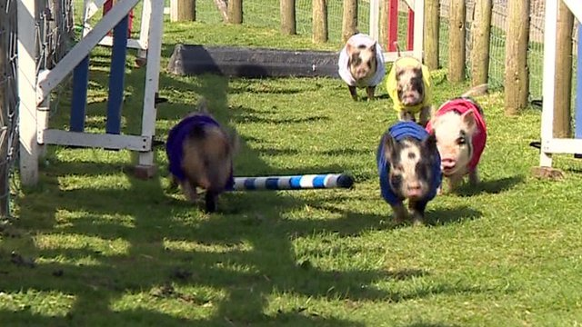 Pigs in election race