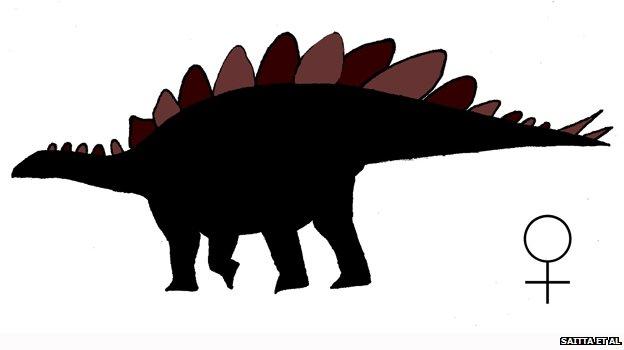Male Stegosaurus mjosi