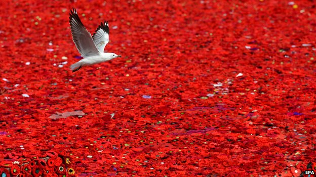 A seagull flies over a sea of poppies in Federation Square, Melbourne