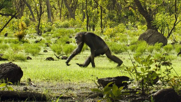 A chimpanzee walking on its knuckles