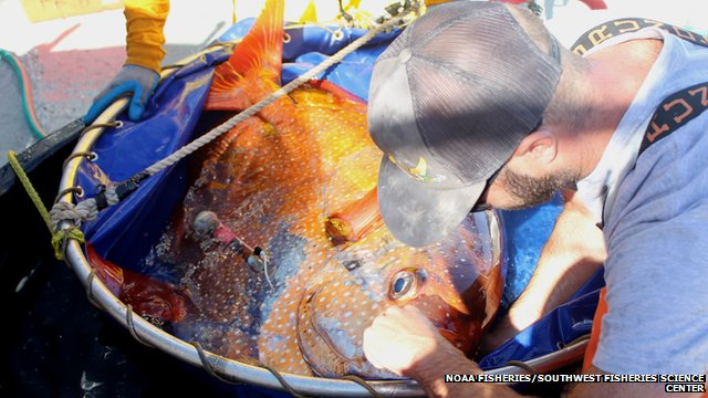 opah being tagged